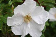 Rosa rugosa 'Alba' - vildrosor