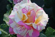 'Claude Monet' - tehybridrosor