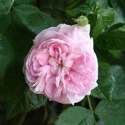 'Maidens Blush' - albarosor