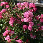 'Pink The Fairy' - polyantarosor
