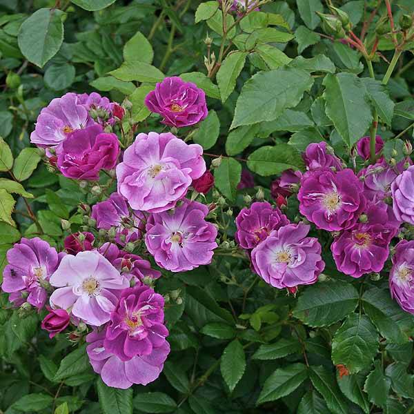 'Purple Skyliner' - storblommiga klätterrosor