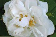 'Quatre Saisons Blanc Mousseaux' - höstdamascenerrosor