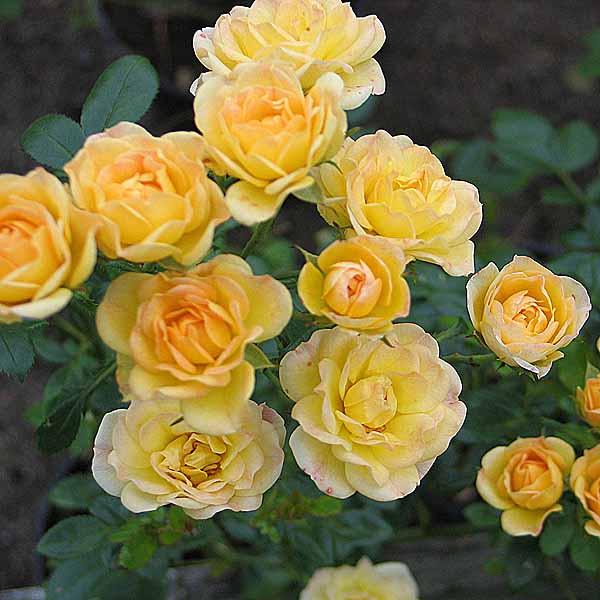 'Yellow Fairy' - polyantarosor