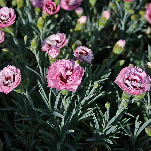Dianthus 'Raspberry Sundae'