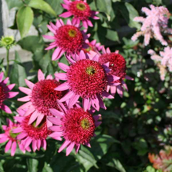 Echinacea 'Catharina'