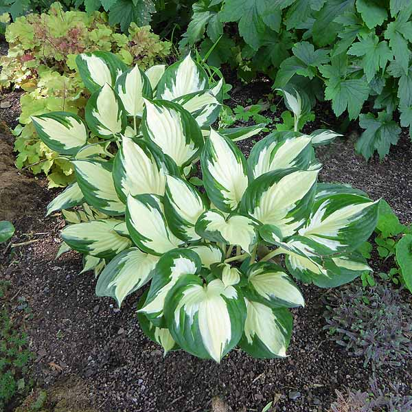 Hosta 'Fire and Eyes'