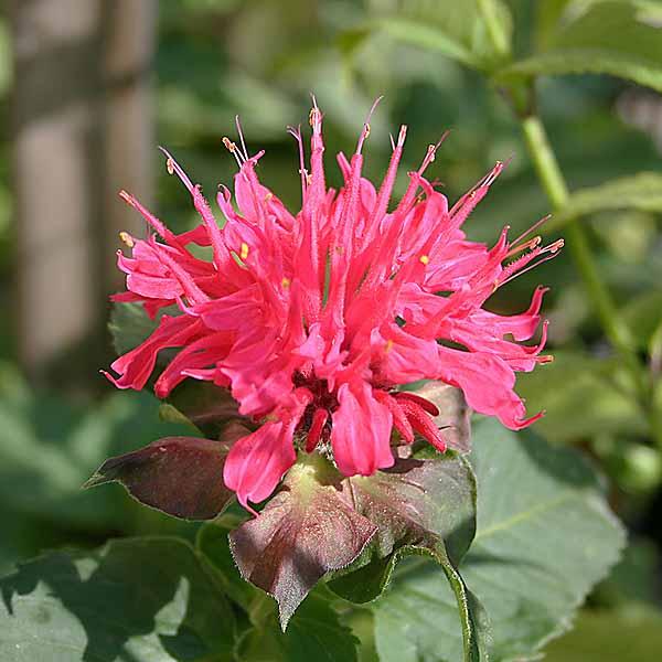 Monarda 'Pink Supreme'