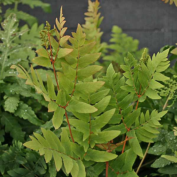 Osmunda 'Purpurascens'