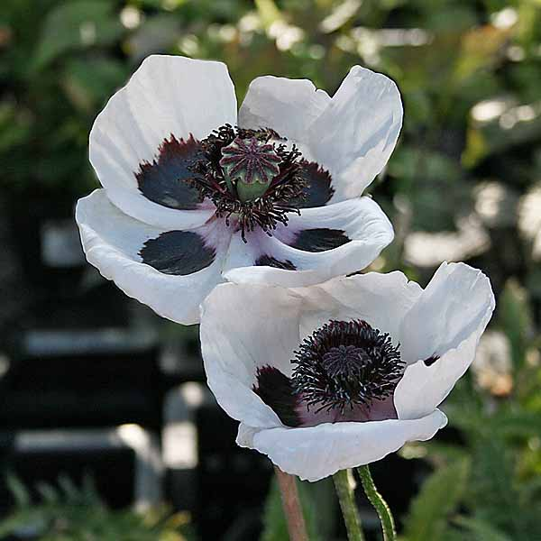 Papaver 'Perry´s White'