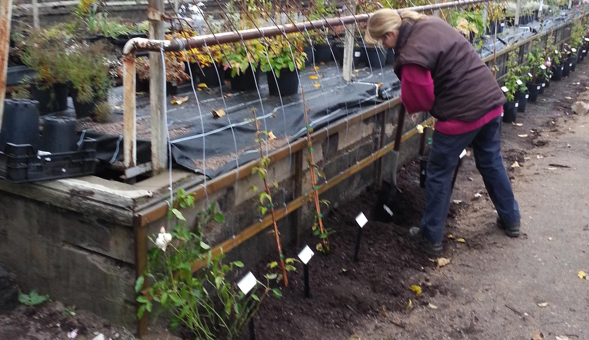 Plantering klematis