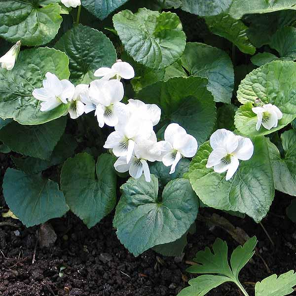 Viola 'Albiflora'