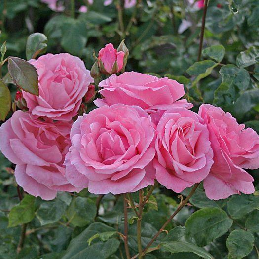 'Queen Elizabeth' Rabattros - Grandiflora-Gruppen
