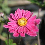 Anemone 'Pamina'