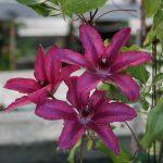 'Barbara' - Tidiga Storblommiga Gruppen