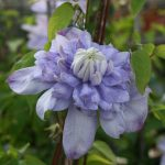 'Blue Light' - Tidiga Storblommiga Gruppen