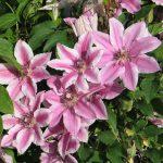 'Carnaby' - Tidiga Storblommiga Gruppen
