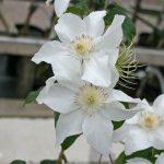 CHANTILLY - Tidiga Storblommiga Gruppen