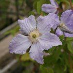 BLUE ANGEL - Sena Storblommiga Gruppen