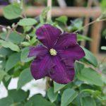 'Etoile Violette' - Viticella-Gruppen