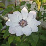 'Fair Rosamond' - Tidiga Storblommiga Gruppen