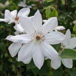 'Henryi' - Tidiga Storblommiga Gruppen