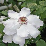 'Ibi' - Tidiga Storblommiga Gruppen