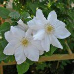 'Marie Boisselot' - Tidiga Storblommiga Gruppen