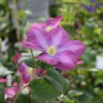 'Miniseelik' - Sena Storblommiga Gruppen