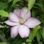 MORNING STAR - Tidiga Storblommiga Gruppen