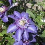 'Multi Blue' - Tidiga Storblommiga Gruppen