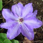 'Natacha' - Tidiga Storblommiga Gruppen