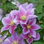 'Piilu' - Tidiga Storblommiga Gruppen