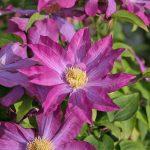 PINK CHAMPAGNE (Syn. 'Kakio') - Tidiga Storblommiga Gruppen