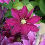 'Red Pearl' - Tidiga Storblommiga Gruppen