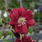 'Red Star' - Tidiga Storblommiga Gruppen