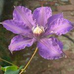'Richard Pennell' - Tidiga Storblommiga Gruppen