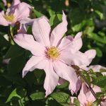 'Rose Supreme' - Tidiga Storblommiga Gruppen