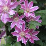 'Scartho Gem' - Tidiga Storblommiga Gruppen