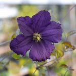 'Trikatrei' - Sena Storblommiga Gruppen