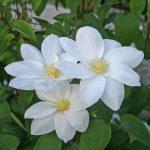 'Tsuzuki' - Tidiga Storblommiga Gruppen