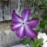 'Venosa Violacea' - Viticella-Gruppen