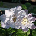 'Veronica´s Choise' - Tidiga Storblommiga Gruppen