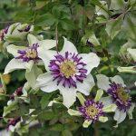 VIENETTA - Tidiga Storblommiga Gruppen