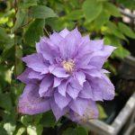 'Vyvyan Pennell' - Tidiga Storblommiga Gruppen