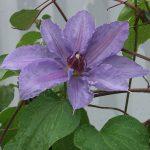 'William Kennett' - Tidiga Storblommiga Gruppen