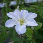 'Yukikomachi' - Tidiga Storblommiga Gruppen