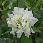 'Yukiokoshi' - Tidiga Storblommiga Gruppen