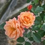 APRICOT CLEMENTINE - Floribunda-Gruppen