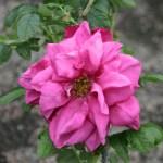 'Belle Poitevine' - Rugosa-Gruppen