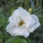 'Blanc Double de Coubert' - Rugosa-Gruppen